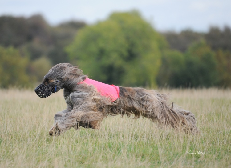 AFGHAN HOUND CLAIMS FIRST SHOW CERTIFICATE OF EXCELLENCE AWARD