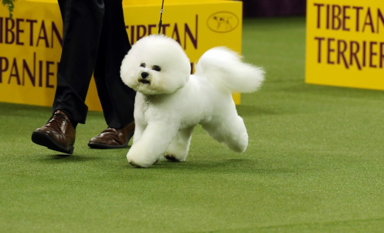 Bichon Frise Wins Top Spot At Westminster