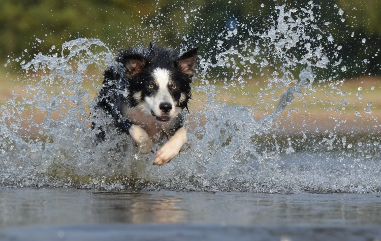 Border Collies: New DNA Testing