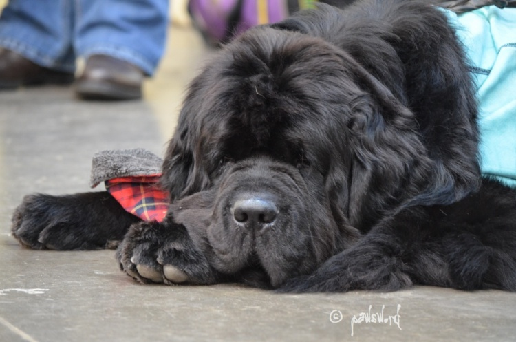Dogue And Newfoundland Hip & Elbow Dysplasia To Be Addressed
