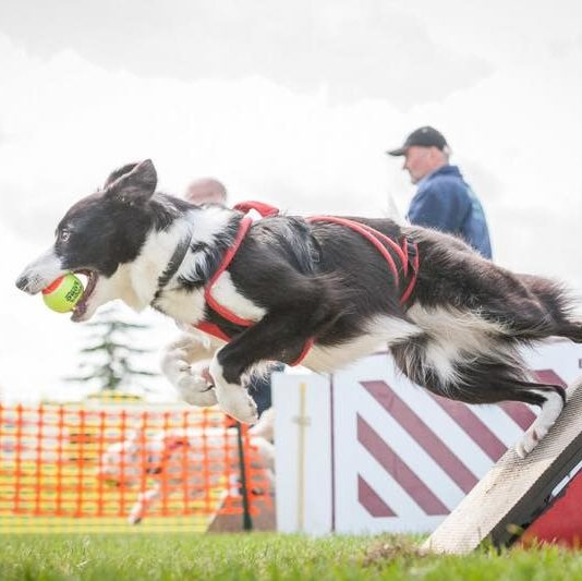 Kennel Club Announces Changes To FLYBALL Regulations