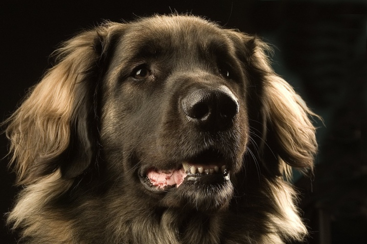 NEW BREEDING RESOURCE ENABLES HIP AND ELBOW DYSPLASIA TO BE TACKLED IN LEONBERGERS