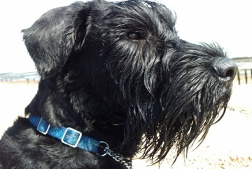 NEW DNA TESTING SCHEME FOR GIANT SCHNAUZERS