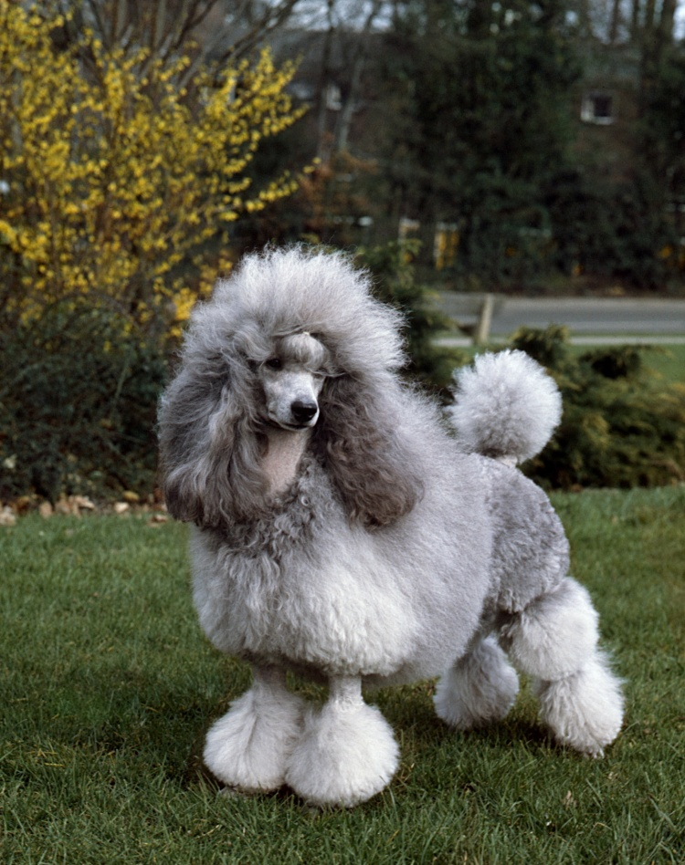 NEW DNA TESTING SCHEME FOR THE MINIATURE POODLE