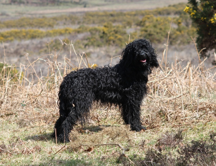 SAY BONJOUR TO THE UK'S NEWEST PEDIGREE DOG – THE BARBET