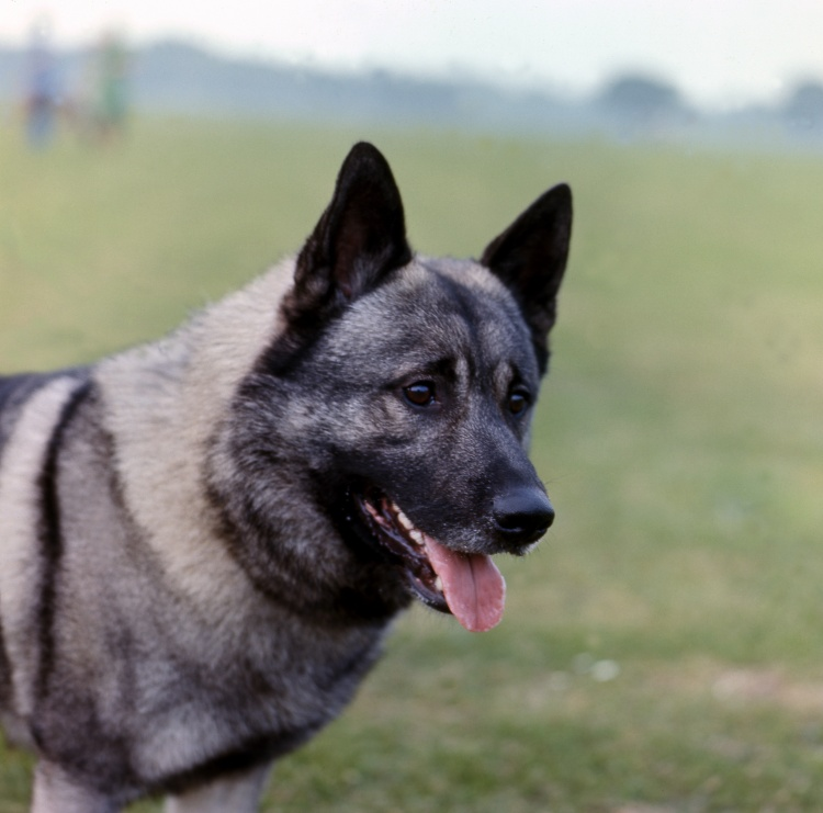 The Norwegian Elkhound And New DNA Schemes