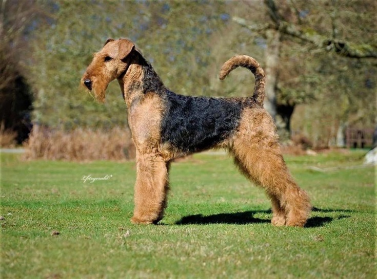airedale terrier breed notes