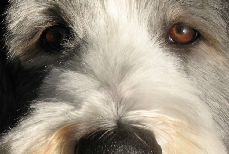 Bearded Collie Breed Notes