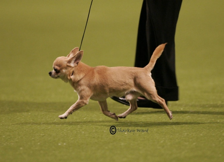 Chihuahua (Smooth Coat) Breeds