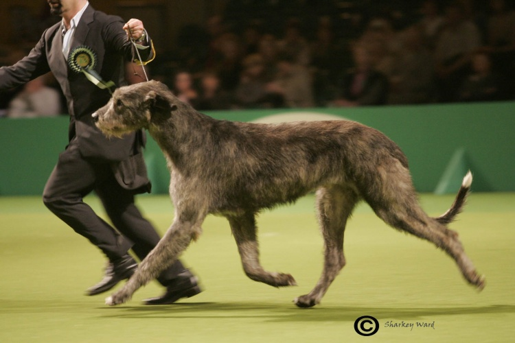 Picture Of A Wolfhound Dog