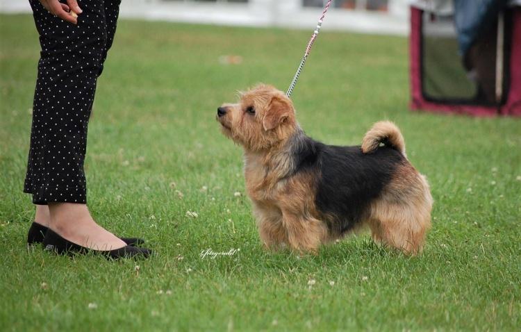 Norfolk Terrier Breed Critique