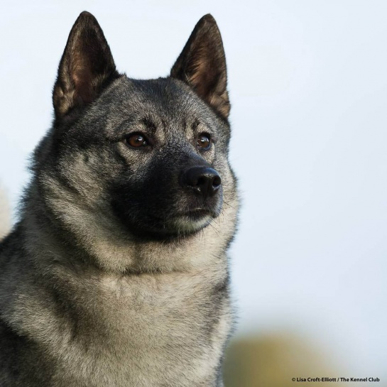 norwegian elkhound breed notes