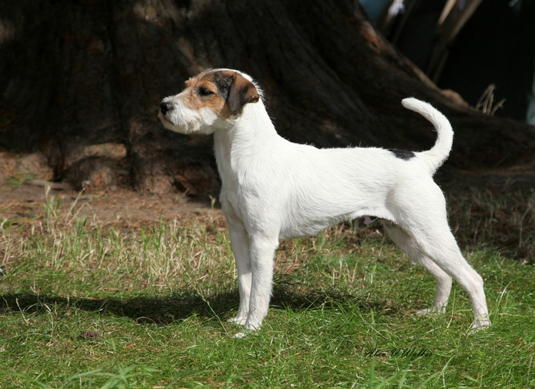 Parson Russell Terrier Breed Notes