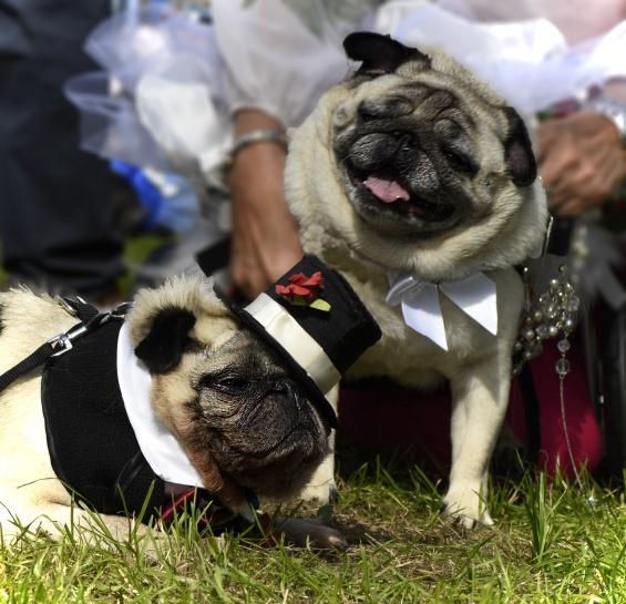 Pug breed notes pug altavistaventures Images