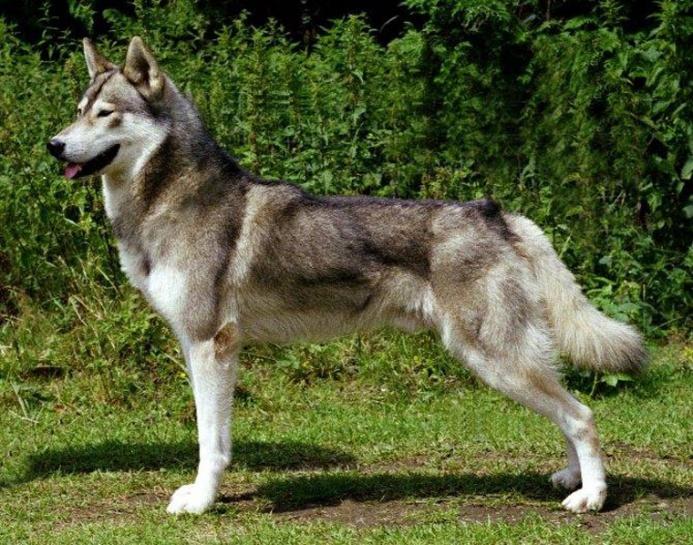 Siberian Husky Breed Notes