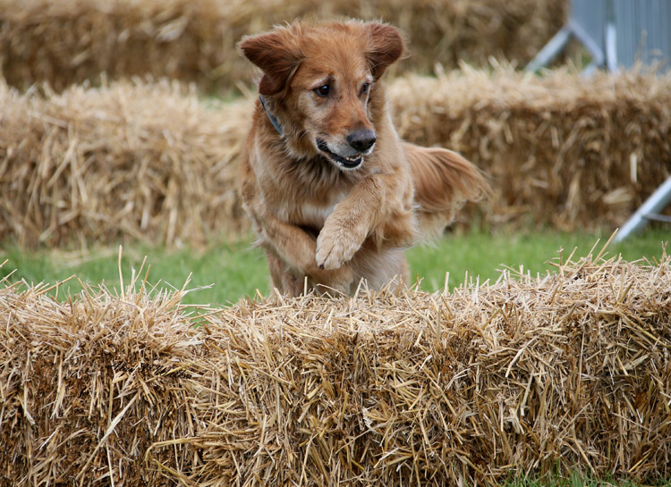 Golden Retriever Jumping Hay